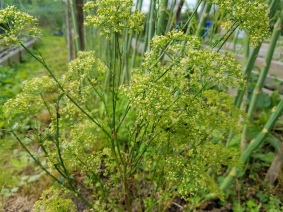 Parsley Flower Buds