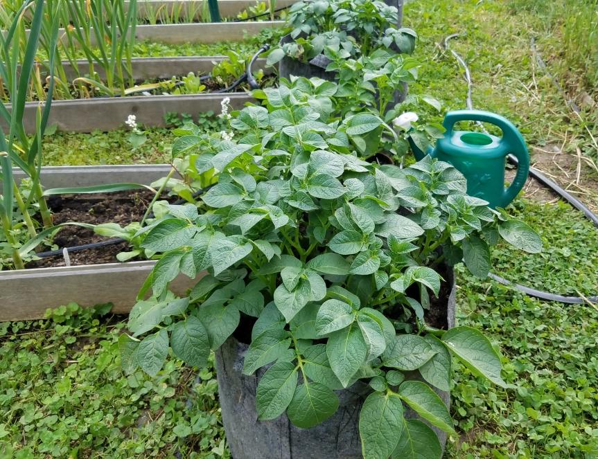 Potatoes in aBag