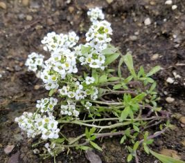 Sweet Alyssum - sweet aromatic