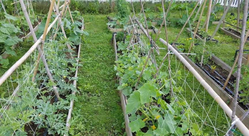 Garden Woes – Harlequin Bugs, Squash  Vine Borers, Squash Bugs and PotatoBugs